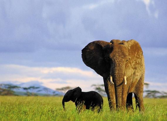 케냐 암보셀리 국립공원의 초원을 유유히 거닐고 있는 코끼리들.