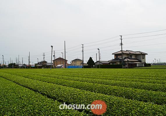 녹차밭으로 끝없이 펼쳐진 시즈오카현의 고요한 마을