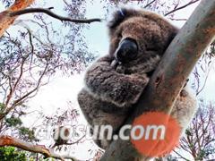 멜버른 '그레이트 오션 워크' 코스의 유칼립투스 나무 군락지에서 코알라를 구경할 수 있다.