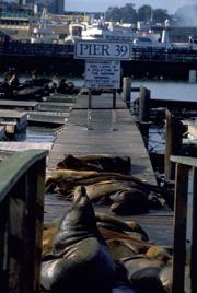 피어39의 바다 사자