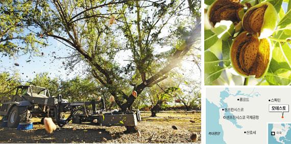 셰이커'가 거대한 집게발로 아몬드 나무 기둥을 잡고 흔들자, 열매가 우박처럼 떨어진다. 미국의 영농기계화가 이룩한 압도적 풍경이다. 오른쪽 위 사진은 수확기의 아몬드 열매.