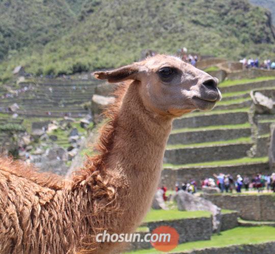 페루 고산지대에 사는 라마