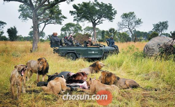 피비린내 진동하던 사자 여섯 마리의 코끼리 반찬 저녁식사. 자신의 몫이 부족했던 탓일까. 왼쪽 아래의 암사자 한 마리가 이빨을 드러내며 포효하고 있다.