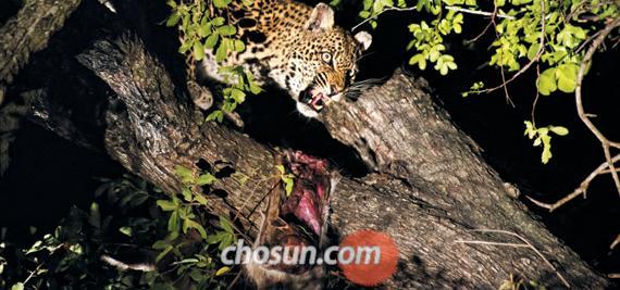 사냥한 임팔라의 주인이 바뀌었다. 한 시간의 신경전 끝에 벌어진 표범의 승리. 칠흑같이 어두운 밤, 표범의 눈이 불처럼 빛난다. 나뭇가지에 걸린 임팔라 다리는 이제 녀석의 몫이다.