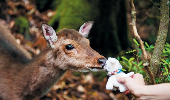 야쿠시마에서 만난 사슴, 야쿠시카(屋久鹿). 사람을 두려워하지 않는 야쿠시마 사슴에게 작은 인형은 그저 호기심의 대상이다. 사슴의 갑작스러운 입맞춤에 오히려 놀란 건 사람일지도 모르겠다.