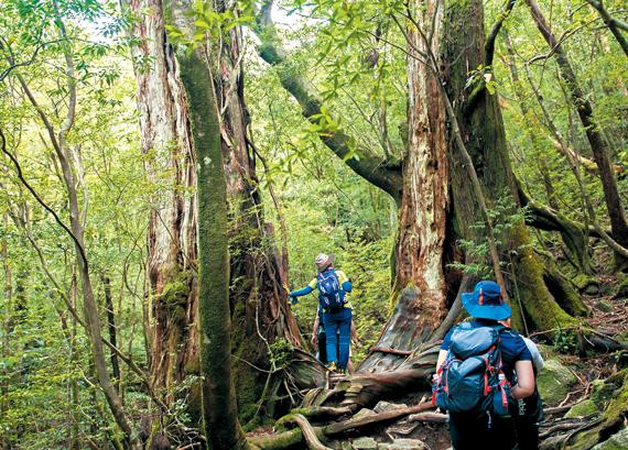 몇백 년 몇천 년을 살아온 나무들 사이로 걸음을 옮긴다. 야쿠시마 트레킹에서는 원시림 가운데를 걷는 색다른 경험을 할 수 있다.