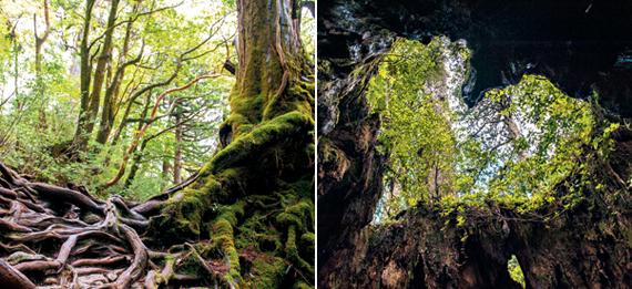 (왼)얽히고설켜 있는 나무뿌리 위로 녹색 이끼가 뒤덮인 나무가 하늘을 향해 뻗어 있다. 녹색의 향연이 벌어지는 야쿠시마는 그 자체로 신비로움이 가득하다. (오)철로가 끝나고 본격적으로 산을 오르기 시작해 30분 정도면 윌슨그루터기(ウィルソン株)를 만나게 된다. 그루터기 안에 서서 하늘을 잘 바라보면 하트 모양이 나타난다.