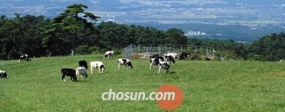 요나고 시내와 동해바다가 한눈에 내려다보이는 다이센 목장마을. 젖소들이 한가로이 풀을 뜯고 있다.