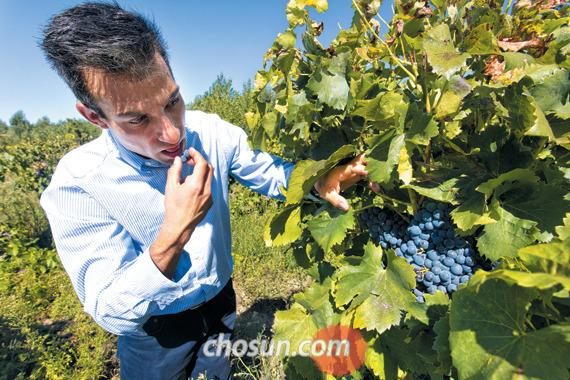 수확을 앞둔 포도를 맛보는 보데가스 리오하나스 수석 와인메이커 파블로 오리오.