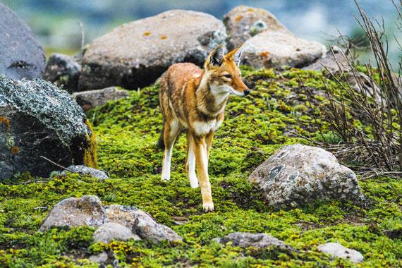 에티오피안 늑대가 아프리카 에티오피아에 있는 해발 4000m 높이의 사네티 고원에서 사냥감인 두더지를 찾아 주변을 살피고 있다. 늑대는 땅을 파고 순식간에 두더지를 낚아챈다고 한다.